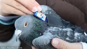 Postal-Pigeon